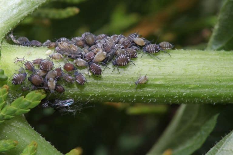 aphids on plant stem
