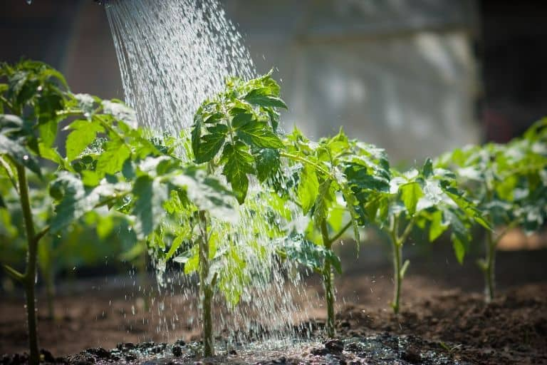watering tomato plants