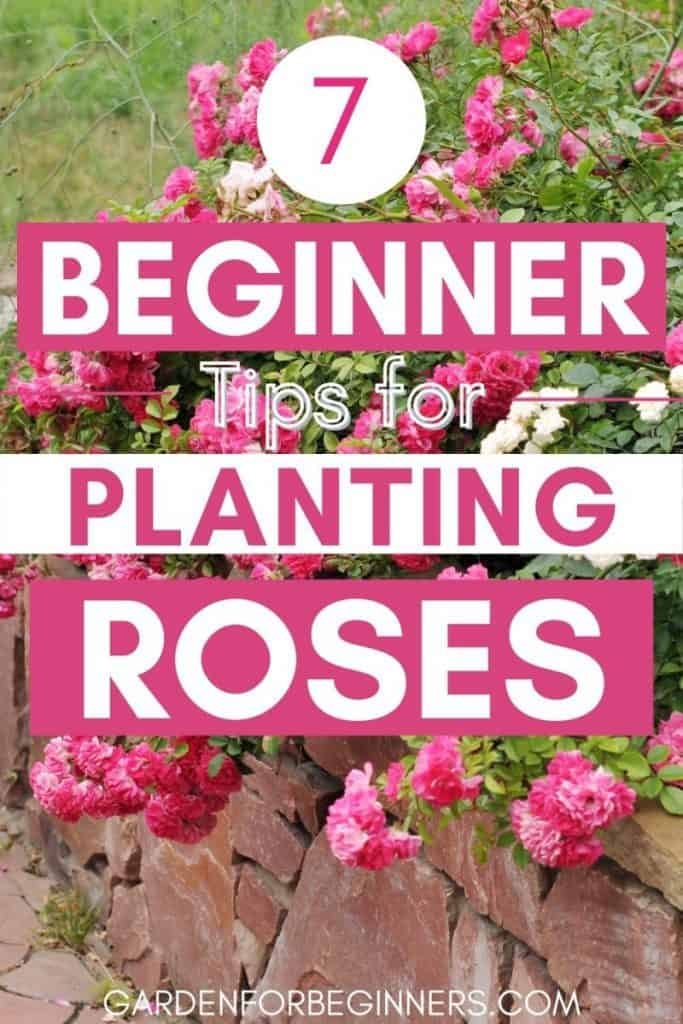 7 simple tips for planting roses for beginners