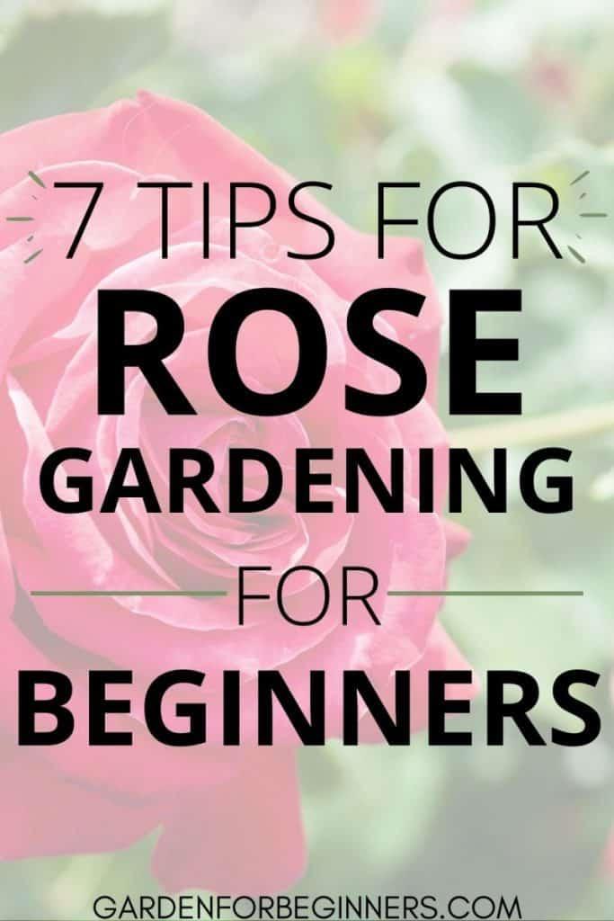 7 beginner tips for rose gardening