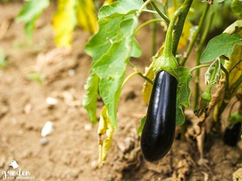 eggplant needs full sun