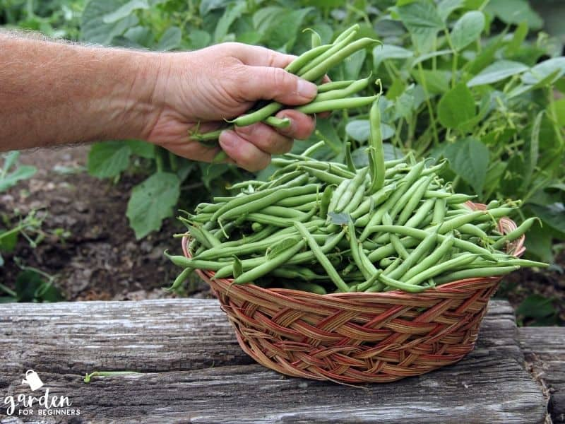 green beans need full sun to grow
