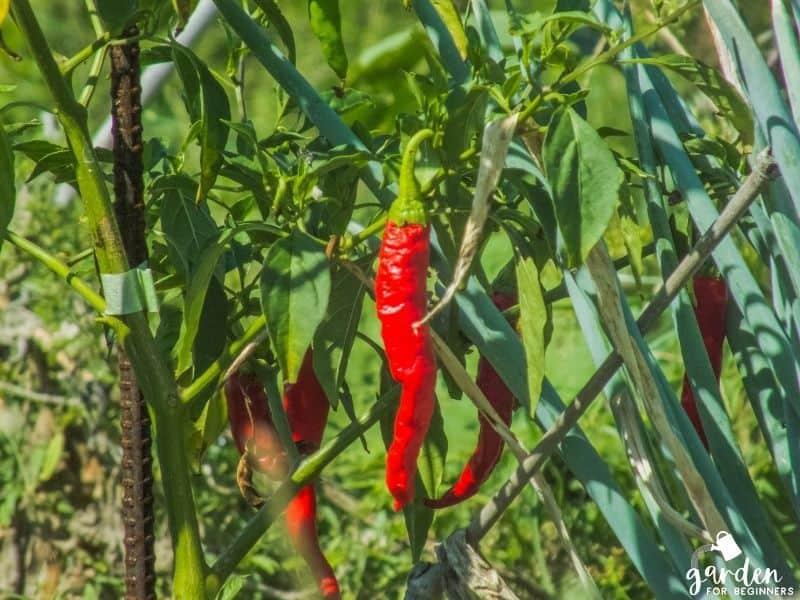 peppers grow best in full sun