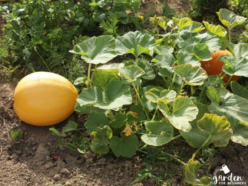 pumpkins need full sun to grow