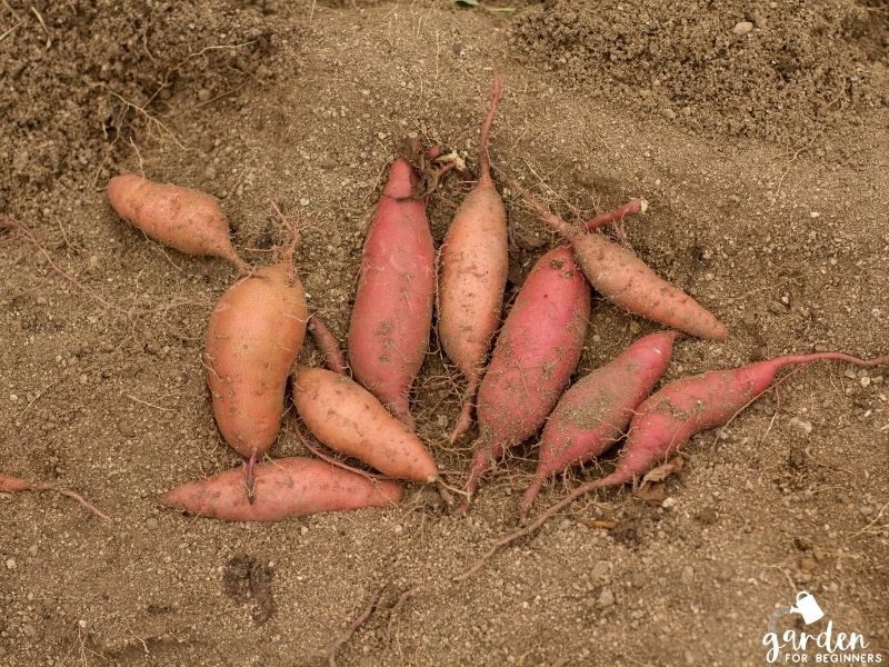 sweet potatoes needs lots of direct sunlight to grow