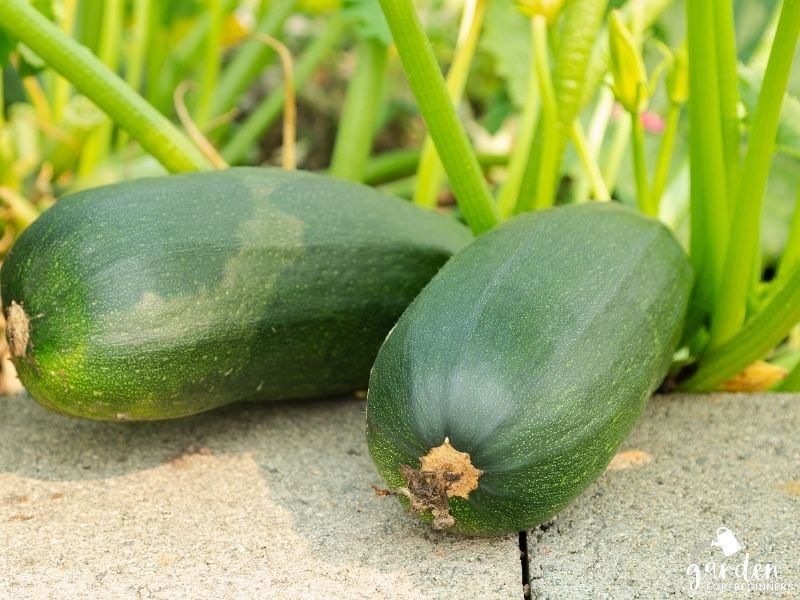 zucchini grows best in full sun
